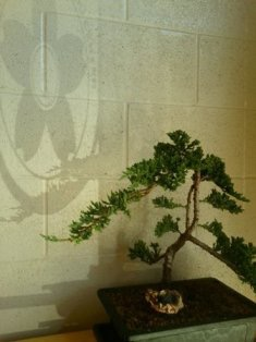 dojo bonsai littlel.9253411 std